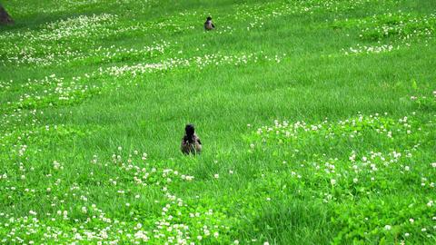 A Raven walks on a green meadow Footage