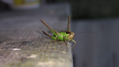 Green grasshopper sits on a plank brown to light a reflector 60 Footage