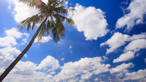Wind Shakes Palm against White Cumulus Clouds Footage
