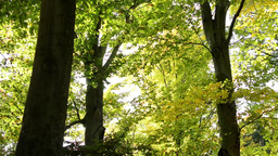 Autumn park (forest - trees) - treetops (branch and leaves) Footage