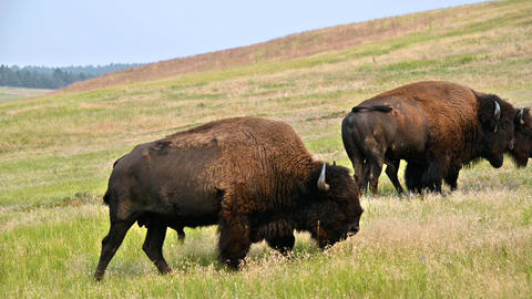 Buffalo Wandering Around stock footage