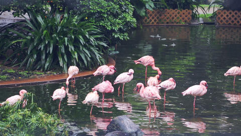 Some rose flamingoes in a Central Park of Hong Kong Footage