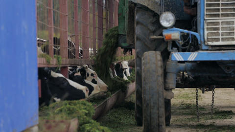 Feeding of cows using tractor Footage