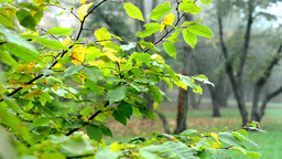 Autumn park (forest - trees) - fallen leaves - tree branch with spider web - mis Footage