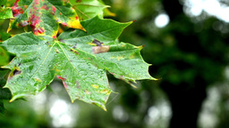 autumn tree (forest) - detail autumn leaves - water drops on leaf - detail Footage