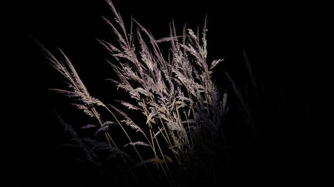 Yellow Dry Grasses Waving In The Wind Evening Under The Light Of A Reflector 63 stock footage