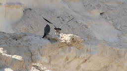 Sooty falcon on a cliff Footage