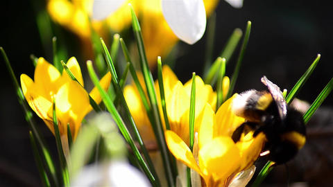 Bee pollen seeking from flowers by yellow crocuses from garden behind the house  Footage