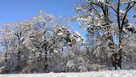 Big trees of the forest covered by snow 7d Footage