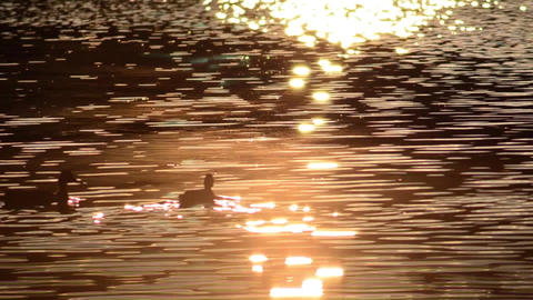 Ducks walking on the lake that is lit up at dusk and has a chocolate color Footage