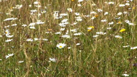 Field of dried herbs with white and yellow flowers in the wind dried of summer 6 Footage