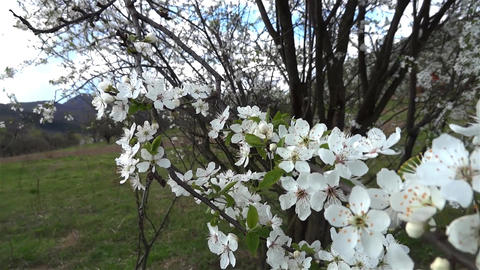 Plum bunches of flowers that thrived with warming weather Footage