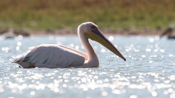 Great white pelican swimming in the lake Footage