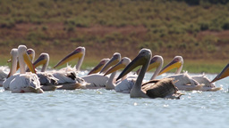 Great white pelican floating in the lake Footage