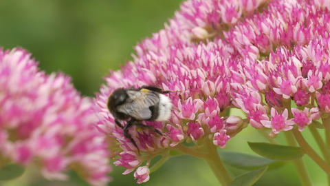 4K Ungraded: Bumble Bee Collects Pollen on Sedum Flower Late Summer Day Footage