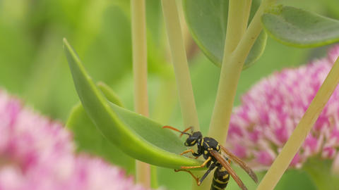 4K Ungraded: Clumsy Aimless Wasp Tries to Climb Grass Stalk, but Fails Footage