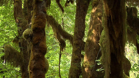 The Mable Grove Inside The Hoh Rain Forest At Olympic National Park, Washington stock footage