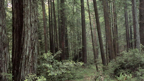 Forest along the 101 Highway in Oregon Live Action