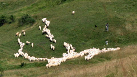 Flock of sheep led by a shepherd goes along grazing on a hillside large pasture  Footage