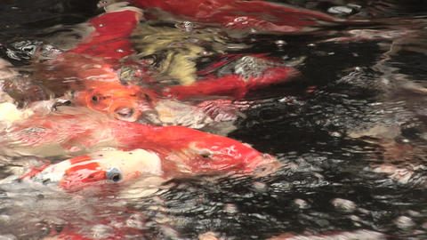 Japanese Koi being fed Live Action
