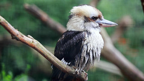 Australian Laughing Kookaburra Perched on a Tree Branch Footage