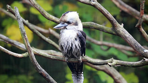 Beautiful Laughing Kookaburra Perched on Branch Footage