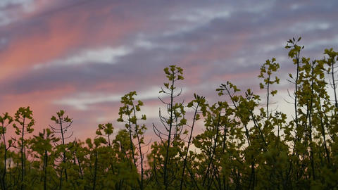 Wind power station in field with rape oil seed plants Footage