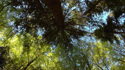 Top of larch trees in the spring forest, rotate Footage