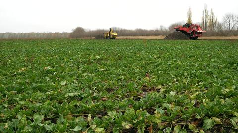 Sugar beets on field farm Image