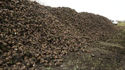 Agricultural vehicle harvesting sugar beet Footage