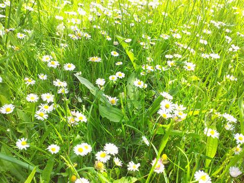 white garden daisies in the green grass bright sunny day Fotografía
