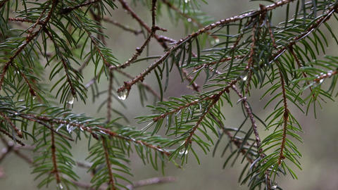 Branch of spruce with raindrops in forest Footage