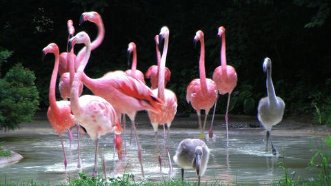 Flamingos Rushing Out of Water Stock Video Footage