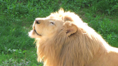White Lion Roaring Stock Video Footage