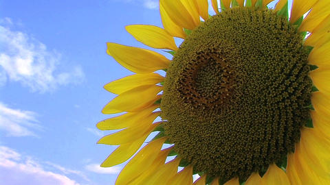 Sunflower Against Sky Stock Video Footage