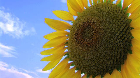 Sunflower Against Sky Footage