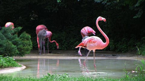 Flamingo Spinning Backwards Stock Video Footage