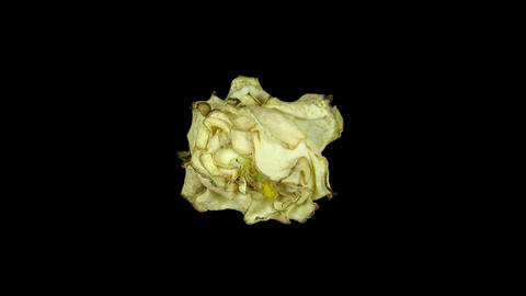 Time-lapse of dying white rose ALPHA matte 1 Stock Video Footage