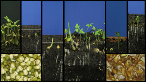 Montage of growing vegetables time-lapse 1 Stock Video Footage