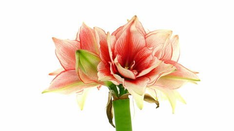 Time-lapse of opening amaryllis Joker flower 1 Stock Video Footage