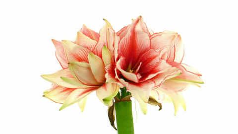 Time-lapse of opening amaryllis Joker flower 1 Footage