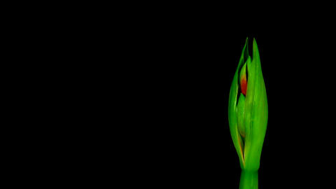 Time-lapse of opening red amaryllis Ferrari flower 9 Stock Video Footage