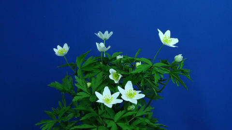 Time-lapse of growing anemone nemorosa 1 (part 2 off 2) Stock Video Footage