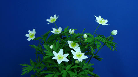 Time-lapse of growing anemone nemorosa 1 (part 2 off 2) Footage