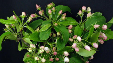 Time-lapse of blooming paradise apple 2 Stock Video Footage
