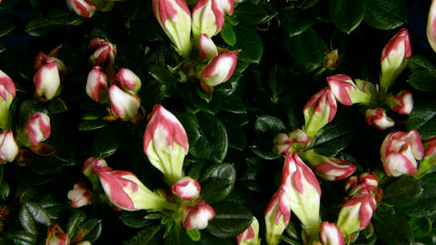 Time-lapse of growing and blooming azalea flower 1 Stock Video Footage