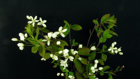 Time-lapse of blooming cherry branch 1 Stock Video Footage