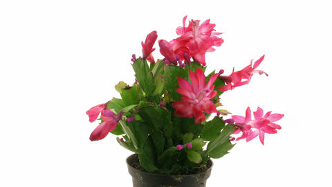 Time-lapse of blooming red Christmas cactus isolated on white 2 Footage