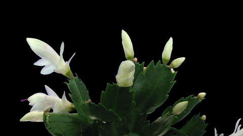 Time-lapse white Christmas cactus growing and blooming... Stock Video Footage