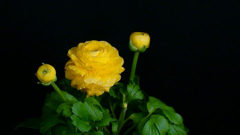 Time-lapse of chrysanthemum flower blooming 2 Stock Video Footage